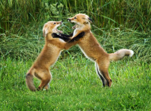DSC06681-two fox kits play fighting-S